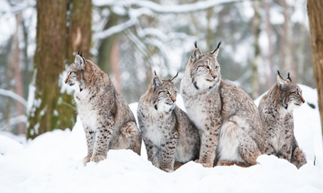 Sweden's wild carnivore population on the rise