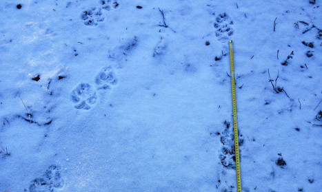 Are wolves on the loose in Sweden's capital?