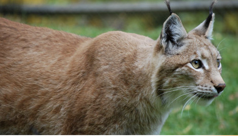 Lynx attacks dog after Swedish zoo escape