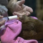 The baby sloths need round-the-clock care to survive their first weeks.Photo: Janerik Henriksson/TT