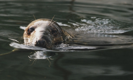 Swedish seal culls hit by new EU trading rules