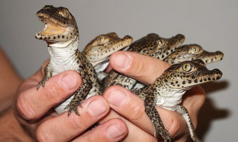 Endangered baby crocs fly to Cuba from Sweden
