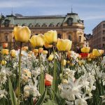 This photo sent in by Brandt Carter, shows tulips in bloom in Stockholm.Photo: Brandt Carter