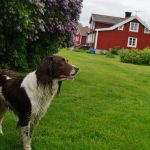 """<p> Residents <a href=""""http://www.thelocal.se/20150615/harstena-life-on-swedens-secret-islands-ostergotland-archipelago-tlccu"""" target=""""_blank"""">Niklas and Lina</a> also raise dogs, like beautiful Tikki, shown here, on the island.</p> Photo: Solveig Rundquist/The Local"""