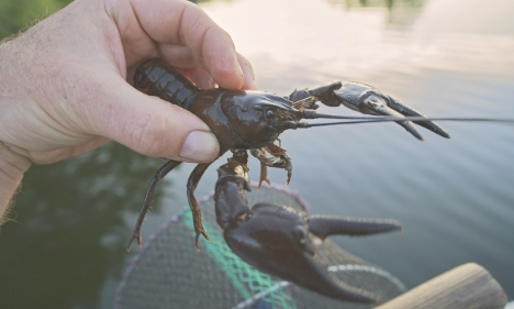 Five snappy facts about Swedish crayfish