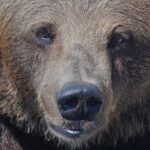 Lucky escape for Swedes after 'dead' bear attacks