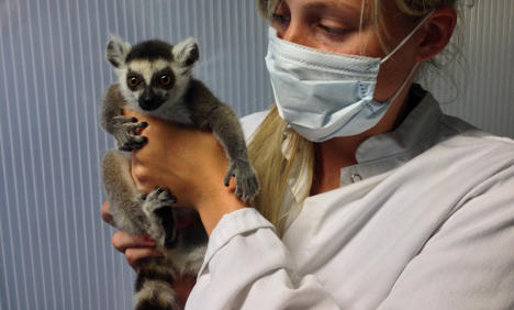 Rescued baby lemur gets new Stockholm home