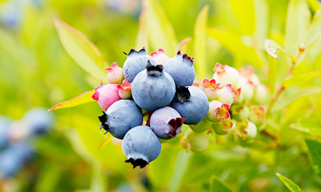 How to make Swedish blueberry compote