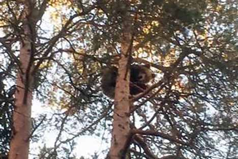 Dog chases 120-kilo bear up tree in central Sweden