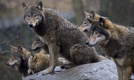 Sweden allows limited New Year wolf culls