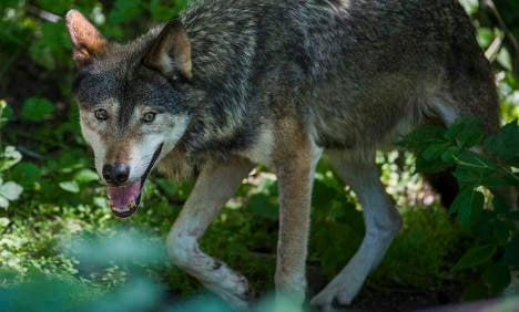 Wolf hunting ban agreed for parts of Sweden