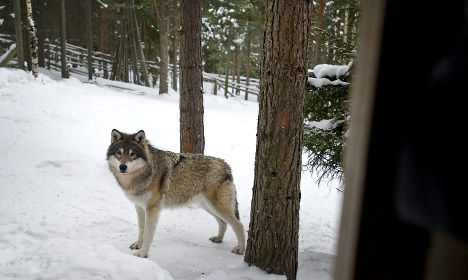 Wolf hunting starts in parts of central Sweden