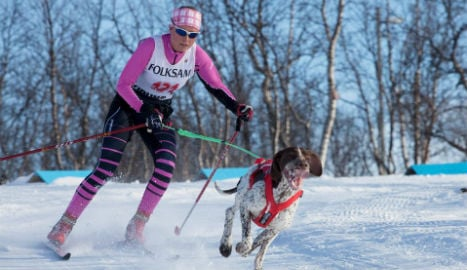 Swedish racing dog does poo and then takes gold