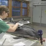 Swedes flipper out at dolphin dissection on TV