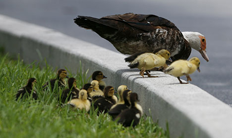 How 50 daring ducks stopped traffic in northern Sweden