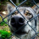 Watch the scary moment a Swedish wolf attacks keeper