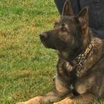 Claws out after hero dog gets police procession