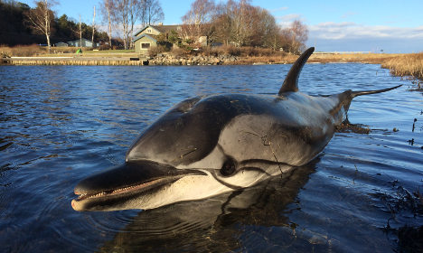 Dead dolphin washed up on Swedish west coast