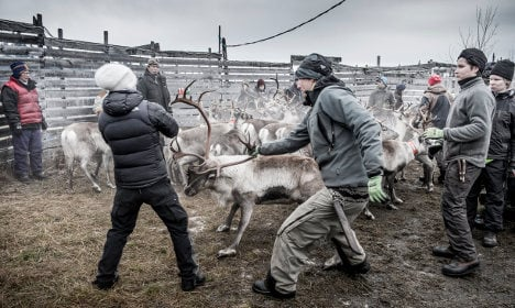 Why Sweden's reindeer are still radioactive after 30 years