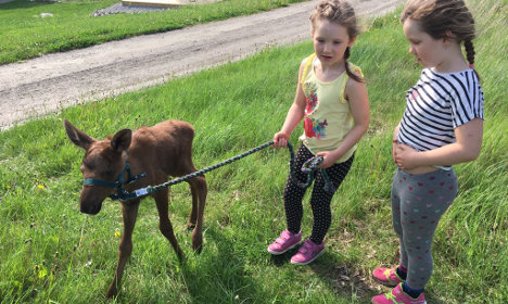 How a Swedish rocker saved the life of this cute baby elk