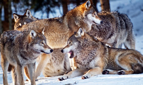 Sweden's wild wolf numbers going down