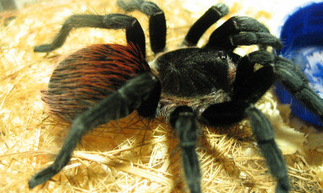 Swedish shoppers creeped out by giant spider discovery