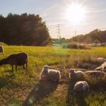 The Local reader Zhang Huichen took this picture of sheep at Lappkärrsberget in Stockholm.Photo: Zhang Huichen