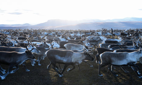 More than 10,000 reindeer killed by cars and trains in five years