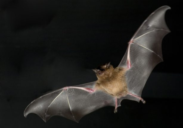 Bats carrying antibodies against rabies-like virus found in Sweden
