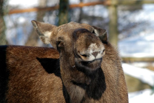 Video: The Swedish elk rescue that became a viral hit