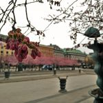 In pictures: Cherry blossoms in Kungsträdgården, Stockholm