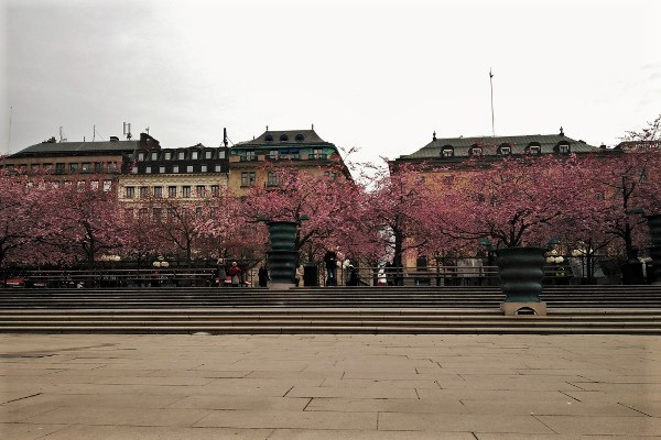 IN PICTURES: Cherry blossoms at Kungsträdgården, Stockholm