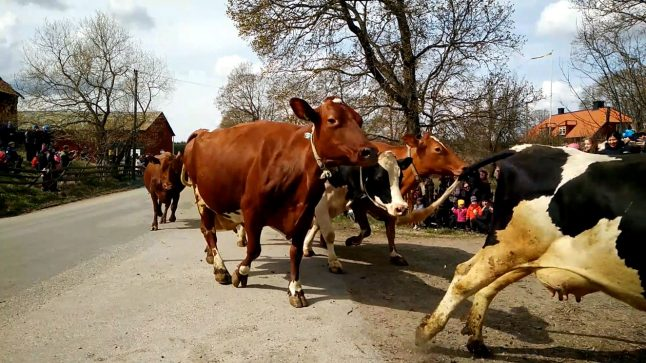 Is this cow celebration Sweden's weirdest tradition?