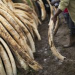 Swedes still buying ivory while abroad: WWF