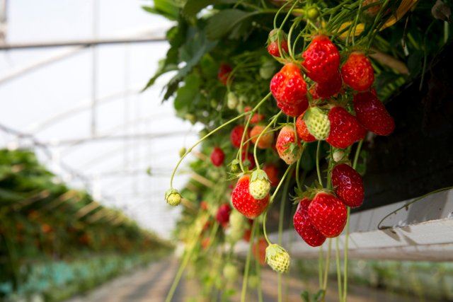 Strawberry thieves steal tens of thousands of fruits from Swedish patch