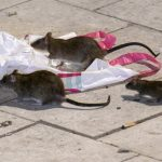 Southern Sweden building boom brings out the rats