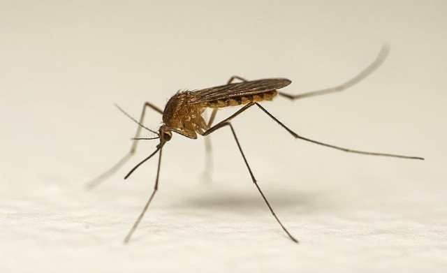 'Aggressive' mosquito species has invaded Sweden, researchers say
