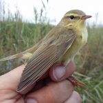 This tiny bird just flew 2,400 km from southern Spain to Sweden at a 'spectacular' speed