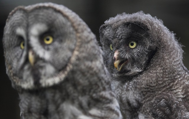 Swedish thieves steal eggs from rare owls worth millions