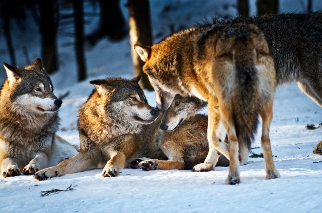Sweden allows culling of 22 wolves in authorized hunt
