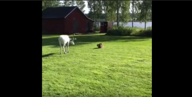 Video: Cat squares off with reindeer in Sweden