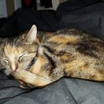 Swedish cat found in UK after missing for more than a year