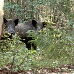 Radioactive boar shot dead in Sweden – 31 years after Chernobyl disaster