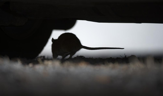 Sweden's rat problem hits new heights