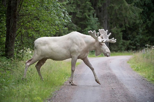 Swedes rally to save famous white elk from being shot