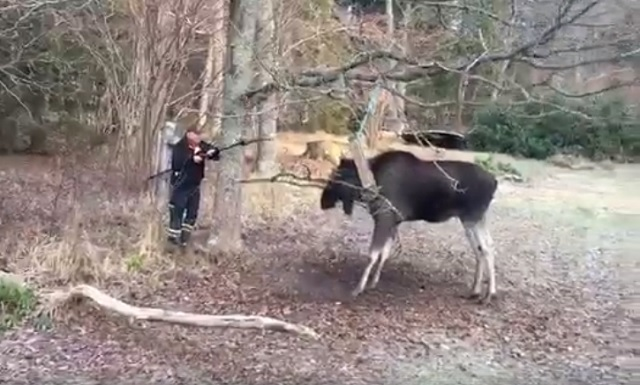 WATCH: 73-year-old Swede rescues trapped elk