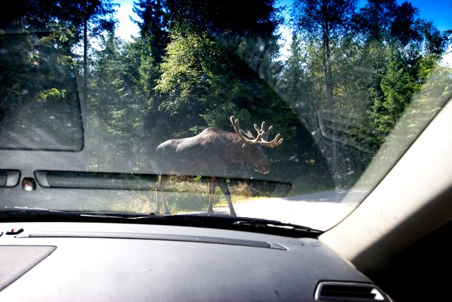Wildlife road collisions hit record high in Sweden