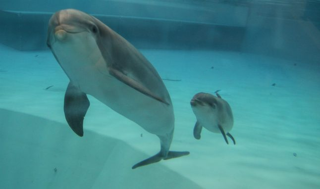 Tail-fin first: See a baby dolphin born at a Swedish zoo