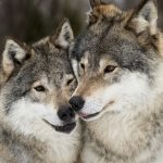 Sweden to recalculate wolf numbers using excrement
