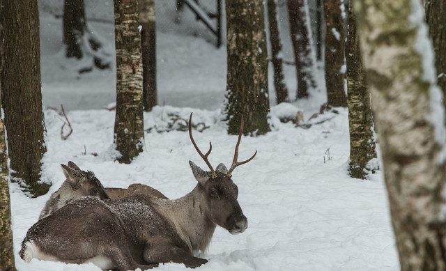 Sami villages ask for emergency support as ice blocks reindeer from food